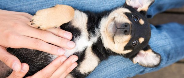 Small dog getting belly rub