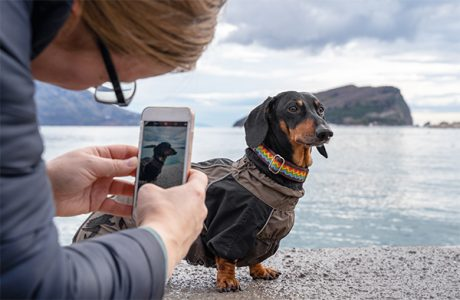 dachshund posing for the camera